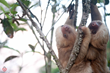 Kids Saving the Rainforest and The Sloth Institute Partner with Tulemar Resort to Release Sloth Duo in Rainforest