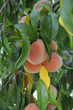 Peaches from Mackintosh Fruit Farm
