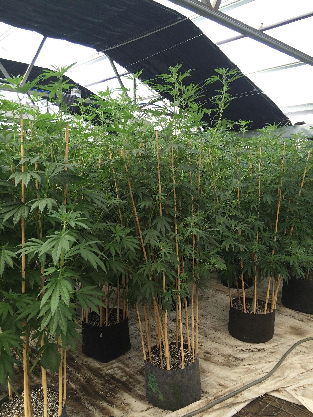 Medical marijuana greenhouse shows higher yield than for Indoor gardening rainier oregon