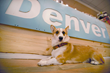 Shop Dog Denver Picard is the Store Corgi