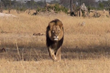 Page 1 Solutions Responds to Controversy over Killing of Cecil the Lion