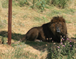 A lion at the Wild Animal Sanctuary