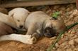Puppies in Korea
