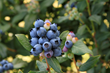 Fall Creek Farm & Nursery Unveils Latest BrazelBerries at IGC Chicago
