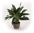 Chinese evergreen, Costa Farms O2 For You
