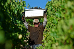 Dry Creek Valley Sonoma California Winegrape Harvest 2015