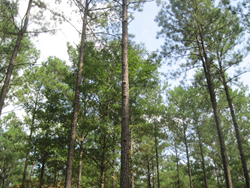 view of pine tress looking up