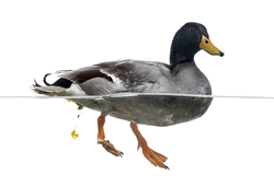 bird flu, ducks, duck poop, domestic flocks, domestic chickens, quail, avian influenza, type a virus