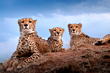 Cheetah Mobile and Cheetah Conservation Fund Sponsor New Campaign to Save Our Wildlife