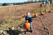 Hayrides are free to Summers Farm's Pumpkin Patch to Pick-Your-Own Pumpkins