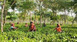 Teatulia's Organic Tea Garden