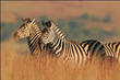 Great Safaris Announces New Holiday Travel Deal on a Tanzania Safari