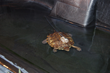 Western Pond Turtle in Pool