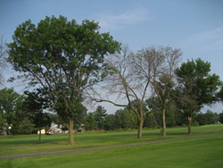 Trees protected against Emerald Ash Borer next to dead Ash trees that were not protected.