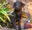 Hunters Creek Retrievers Top Dog Training USA for Canine Good Citizens or Field Champions