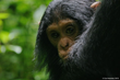 Baby chimp peeking