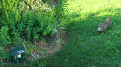 yard gard, yard guard, rabbit, rabbits, bunny, bunnies, cottontail, garden, fall, insurance, protect, pests, pest, pest rabbits, garden pests