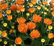 Chrysanthemums from Costa Farms Add Fall Style