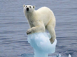 Melting ice sheets a result of global warming are affecting the polar bears ecosystem adversely (Photo: Google Images)
