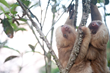 Orphaned Sloths Reintroduced into the Wild
