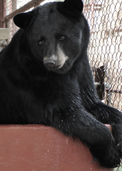 With No Goldilocks in Sight, PrideRock Wildlife Refuge Launches Campaign to Save the Three Bears