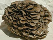 Gourmet Mushroom Products Now Offers Organic Mushroom Plugs To Grow Pounds of Gourmet and Medicinal Mushrooms