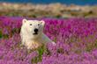 Polar Bear in Fireweed