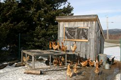 Chicken Coop Care: New Market Opens for Cozy Products