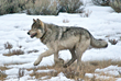 New Wolves of Yellowstone Photography Safari from Wildlife Expeditions of Teton Science School Announced for 2016