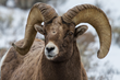 Big Horn Sheep are one of the many species to see and photograph on the new 2016 Yellowstone photo safari trip from Wildlife Expeditions (photo by Sean Beckett).