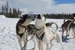 dog sledding winter park colorado
