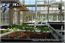 plant growth in the sustainable aquaponic system by Solar Innovations, Inc.'s greenhouse experts
