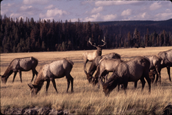 Yellowstone elk by Gabby Barrus