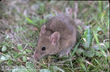 Rodents Carry an Array of Diseases