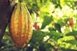 """""""Nacional"""" cacao pod from Piedra de Plata"""
