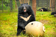 Moon bear, Kevin, playing with puzzle feeder