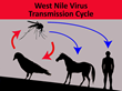 "US Bird Population ""Decimated"" by West Nile Virus, Elevated Threat to Humans"