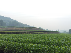 Zhejiang Tea Region