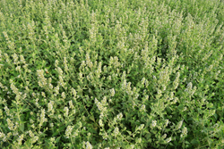 The catmint plant (Nepeta cataria)
