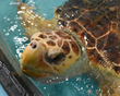 Public Sea Turtle Release Scheduled for Today by the South Carolina Aquarium