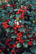 Monrovia Helps Homeowners Brighten Up the Winter Landscape (and bring on the birds) With Berry-Bearing Holly Shrubs