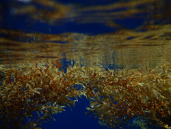 Floating Sargassum