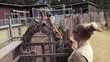 Oakland Zoo Partners with Filmmaker to Discover Unique Giraffe Perspective by Placing Live-Action Camera on-top Giraffe's Head