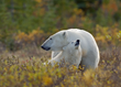 Polar bear mom and cub at Nanuk. Dennis Fast photo.