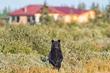 Curious black bear at Nanuk Polar Bear Lodge. Robert Postma photo.