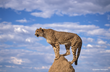 Photo by Andrew Harrington/Cheetah Conservation Fund