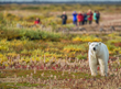 Polar Bear Walking Safaris at Seal River Heritage Lodge.