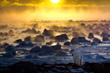 Polar bear walks along the Hudson Bay coastline at Seal River Heritage Lodge.