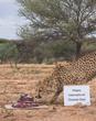 Cheetah Conservation Fund Offers 10 Ways to Celebrate International Cheetah Day Dec. 4