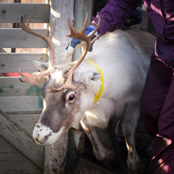 Adopt a Reindeer and Support a whole community Photo: Lisa Oberg